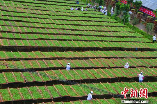 世界上竹笾最多的晒茶场